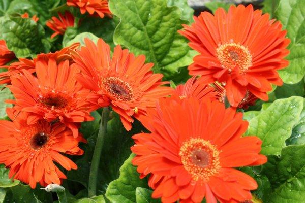 Do you buy new plants in mid summer?-gerbera-daisies-orange1-jpg