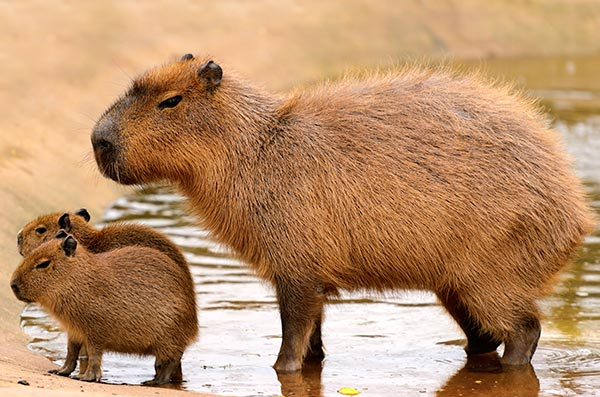 What's the strangest thing you've ever eaten-capybara-family_15762686447_f9f8a0684a_o-jpg