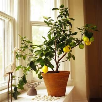 Do you have fruit trees?-plant-miniature-lemon-tree-terracotta-pot-near-window-jpg