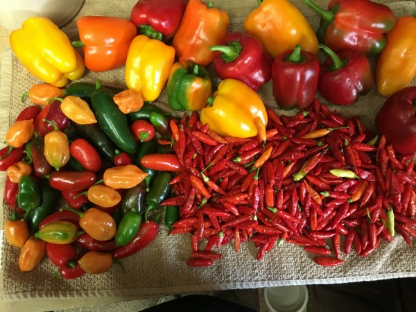 What did you do in the garden today?-peppers-galore_10-9-17-jpg