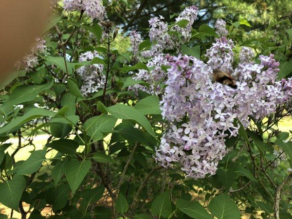 Hummingbird Moths-c0ac6d3d-0e0a-4708-9656-5a08414afa6a-jpg