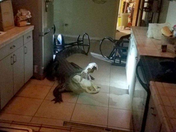 Elderly woman finds 11 foot alligator in kitchen-alligator-kitchen-01-ht-jef-190531_hpmain_4x3_992-jpg
