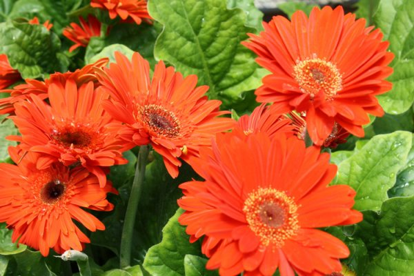 Name:  gerbera-daisies-orange1.jpg Views: 12 Size:  60.8 KB